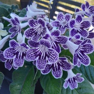 Maureen Barton. Flowering Pot Plant