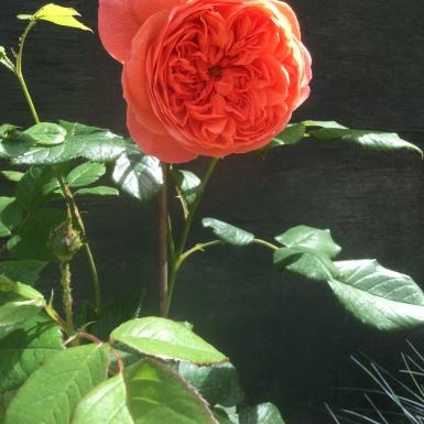 Denis Collman. Large Rose